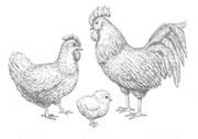Orient Poultry